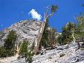 Pinus longaeva McFarland Peak 1.jpg