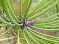 Pinus nigra (1111) 09.JPG