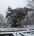 Pinus nigra OB UW.jpg
