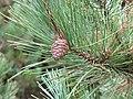 Pinus resinosa foliagecone.jpg