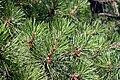 Pinus rigida foliage Nieporęt 3.JPG