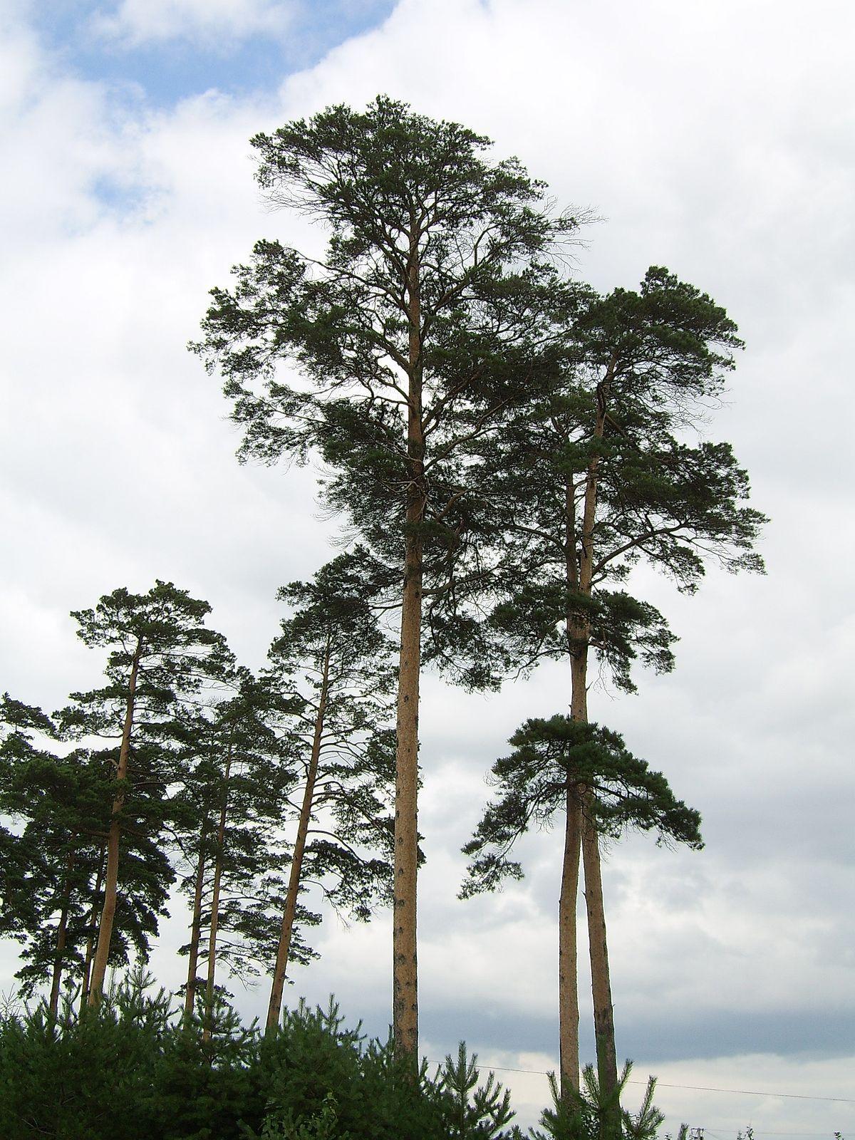 Pinus densiflora - Wikipedia
