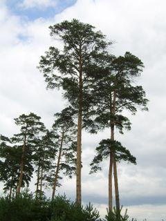 <i>Pinus densiflora</i> Species of conifer
