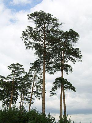 Pinus densiflora - Image: Pinus syluestriformis (Takenouchi)T.Wang ex Cheng