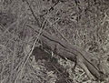 Pipilo erythrophthalmus nest 1904.jpg