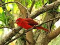 Piranga rubra (Piranga roja) - Macho (14002306826).jpg