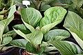 Plant of Thailand - 28.jpg