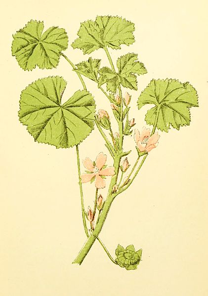 File:Plantenschat1898 261 125 Gewone malva.—Malva vulgaris.jpg