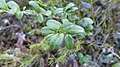 """Plants in """"storknabben"""" 4.jpg"""