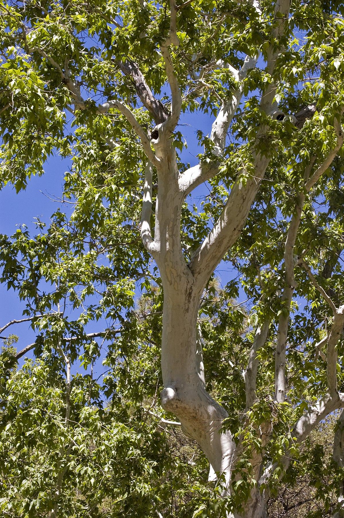 Tree  Wikipedia