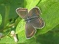 Plebejus argus ♀ - Silver-studded blue (female) - Голубянка аргус (самка) (41033761301).jpg