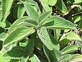 Plectranthus barbatus from Ooty (5).jpg