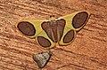 Plutodes argentilauta or malaysiana (Geometridae- Ennominae- Plutodini) (5717372290).jpg