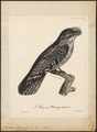 Podargus strigoides - 1825-1834 - Print - Iconographia Zoologica - Special Collections University of Amsterdam - UBA01 IZ16700005.tif
