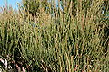 Pollença - Ma-2210 - Cap de Formentor - Ephedra fragilis 05 ies.jpg