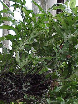 Polypodium billardieri