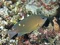 Pomacentridae, No id. (46091585414).jpg