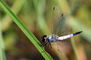 <i>Aethriamanta</i> genus of insects
