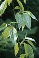 Populus balsamifera.jpg