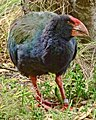 Porphyrio hochstetteri -Maud Island, New Zealand-8.jpg