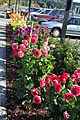 Port Gamble, WA - dahlias 01.jpg