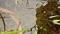 Potamogeton cristatus.jpg