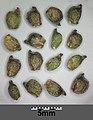 Potamogeton nodosus sl77.jpg