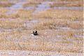 Prairie Falcon (6844017951).jpg