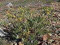 Prairie cinquefoil, Potentilla pensylvanica (24528329040).jpg