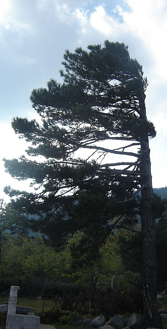 Prevailing winds - Effect of prevailing wind on a coniferous tree, western Turkey.