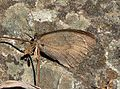 Probably Dusky Meadow Brown. Hyponephele lycaon, ( given high altitude) - Flickr - gailhampshire.jpg