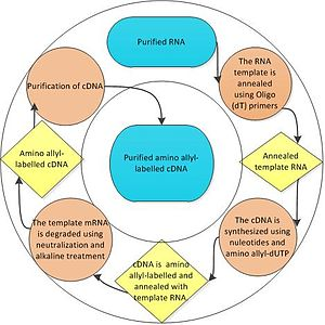 Aminoallyl nucleotide - Process of preparing amino-allyl labeled cDNA