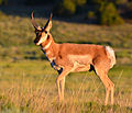 Pronghorn, La Veta, Colorado.jpg