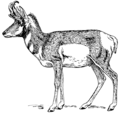 Pronghorn (PSF).png