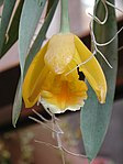 Prosthechea citrina - Flickr 003.jpg