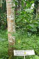 Prunus africana à São Tomé (2).jpg