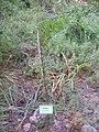 Prunus insitiata Habitus 2010-7-17 HumedalJardinBotanicoHoyadePedraza.jpg