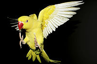 Psittacula krameri -yellow mutation -flying-9.jpg
