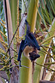Pteropus samoensis2-2.jpg