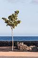 Puerto del Carmen. Lanzarote. Árbore ornamental na Avenida das Praias.jpg