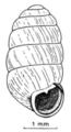 Pupilla muscorum shell.png