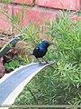 Purple Sunbird (Cinnyris asiaticus) (15702281887).jpg