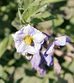 Purple nightshade Solanum xanti close.jpg