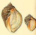 Purpura persica rudolphi conchologia iconica LA Reeve Pl II.jpg