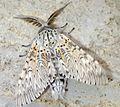 Puss Moth - reared - Flickr - Bennyboymothman.jpg