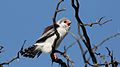 Pygmy falcon, or African pygmy falcon, Polihierax semitorquatus, at Kgalagadi Transfrontier Park, Northern Cape, South Africa. (34128953870).jpg