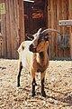 Pygmy goat in Nice.jpg