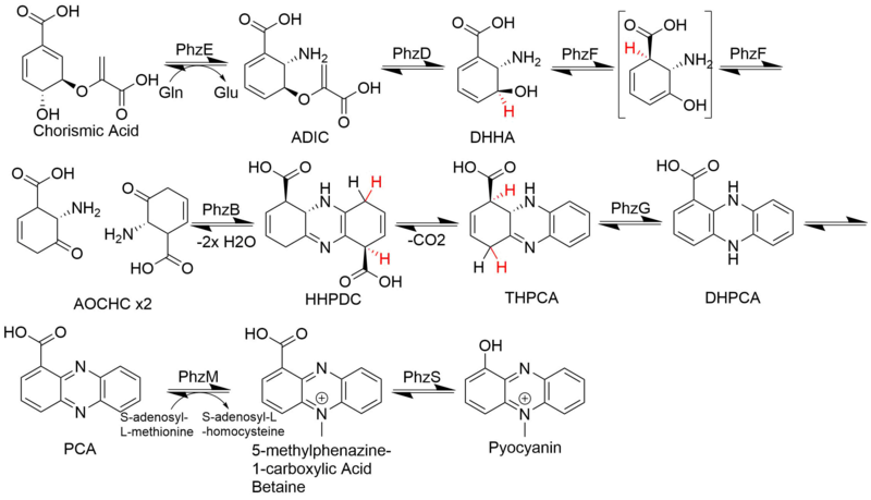 Pyocyanin Biosynthesis.png