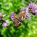 Pyrausta aurata. Pyralidae. - Flickr - gailhampshire.jpg