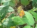 Pyronia tithonus, Djerdap NP, Srbija (21).jpg